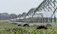 SOY BEAN IRRIGATION